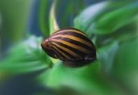 P: Slimaky Neritina zebra