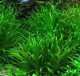 Predam rastliny – blixa japonica, cryptocorine wendtti green,