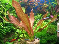 Akváriové rastliny