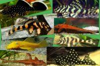 !!!ROZVOZ!!! Ancistrus, Hypancistrus, Zonancistrus, Peckoltia, Panagolus, Leporacanthicus, Loricaria
