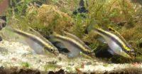 Ostriežik Purpurový – Pelvicachromis pulcher – Samičky