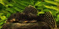 L018 – Baryancistrus sp. – GOLDEN NUGGET