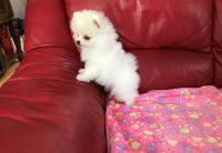 Mini luxusné Pomeranian šteniatka v rôznych farbách