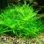 Heterathera zosterifolia