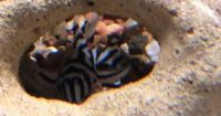L46 – Hypancistrus zebra – sumec zebra