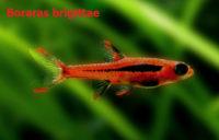 Boraras brigittae