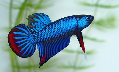 betta imbellis male.jpg