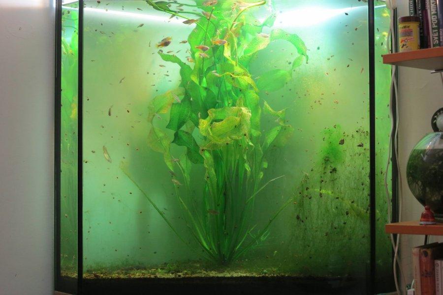 Akvárium s Otélia ulvifolia