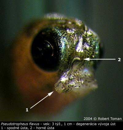 degenerácia P. flavus
