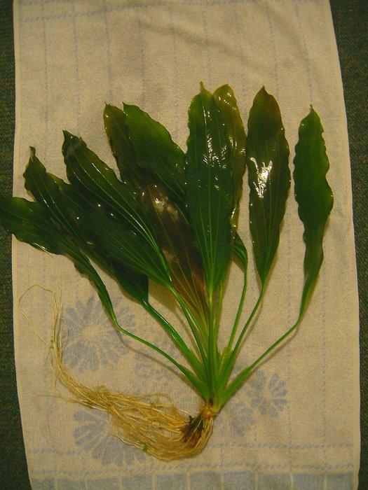 Echinodorus osiris