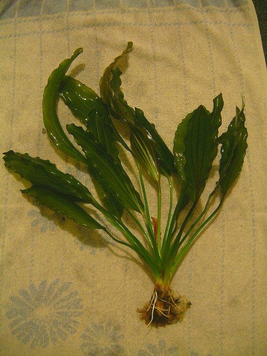 Echinodorus rosaefolius
