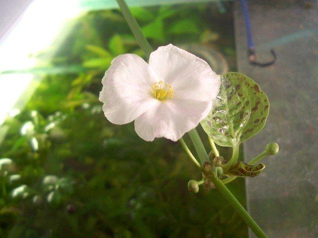 "Echinodorus ""Ozelot"" green"