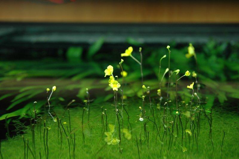 Utricularia exoleta