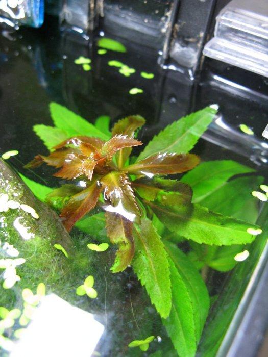 Proserpinaca-palustris-CUBA