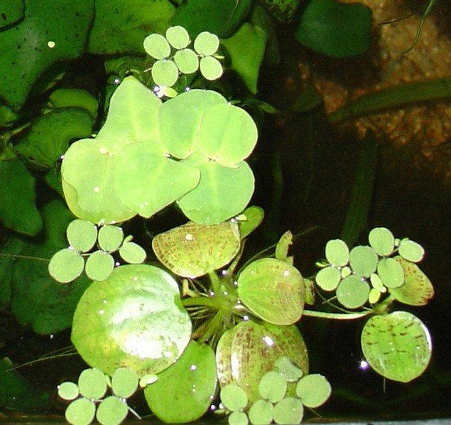 plavajuce rastliny