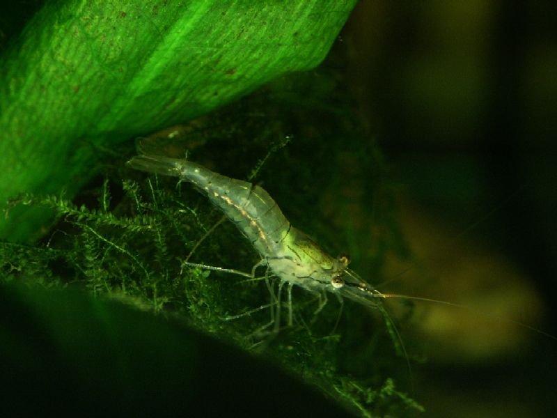 Samica Macrobrachium lanchesteri