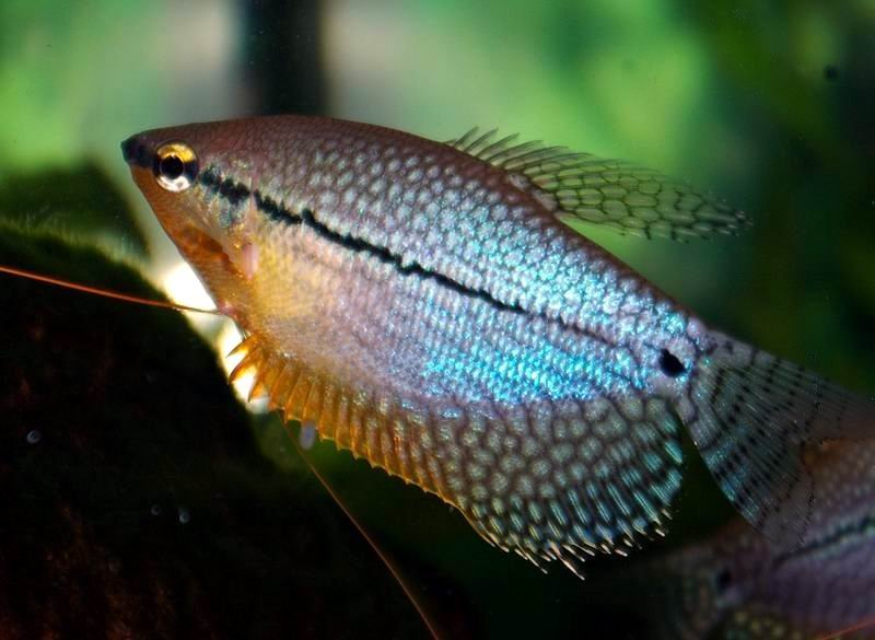 Trichogaster leeri