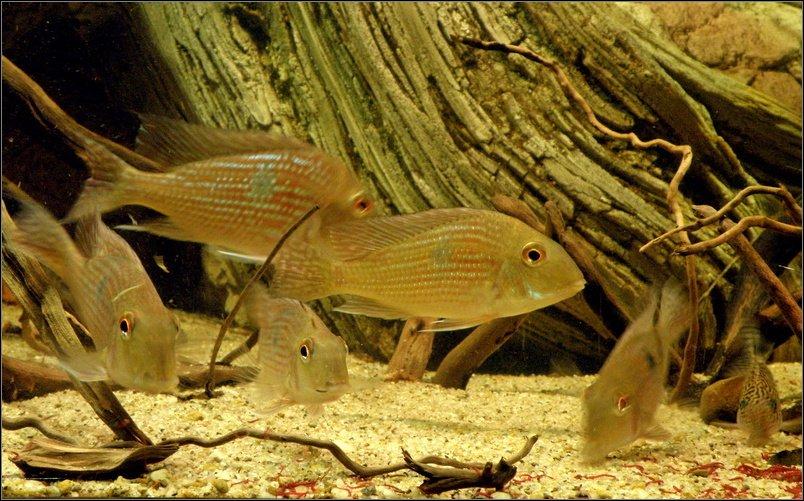 Geophagus sp. 'Pindaré'