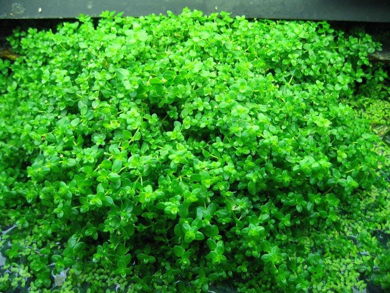 Hemianthus Micranthemoides : Hemianthus Umbrosum Hemianthus micranthemoides