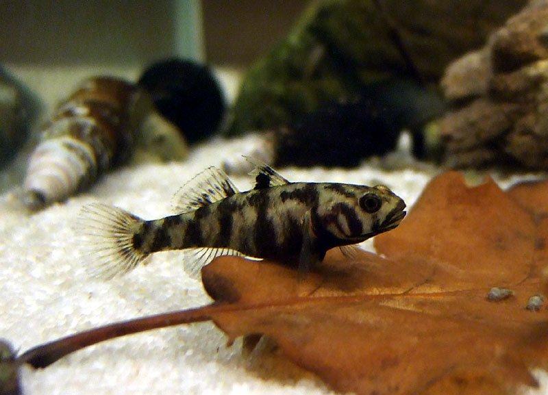 Mugilogobius adeia - samice