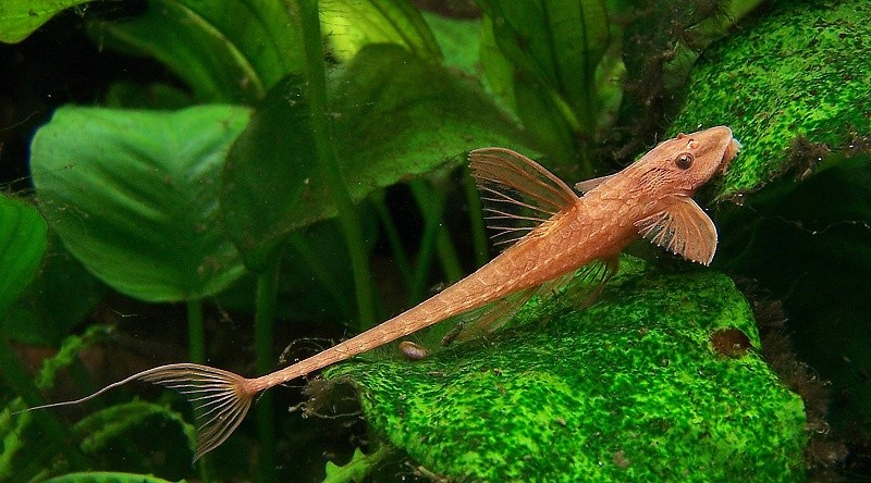 Cyp enzymes in loricariidae fishes rineloricaria for Freshwater sucker fish