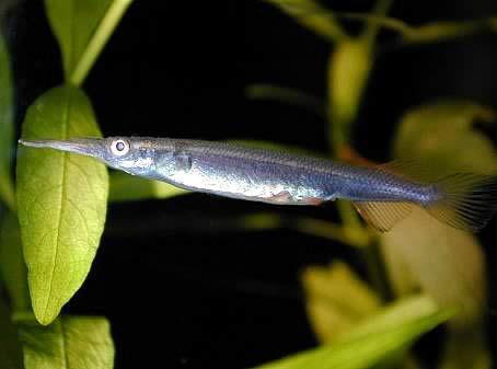 samice Dermogenys pusillus