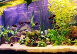 Tropheus akvarium